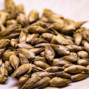 Bamboo seeds, Dendrocalamus Membranaceus – เมล็ดไผ่ ซางนวล ราชินี 20 เมล็ด
