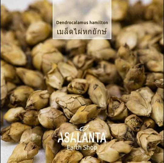 Bamboo seeds, Dendrocalamas hamitonii 1 pack 20 seeds - เมล็ดไผ่หกยักษ์ จากจังหวัดตาก