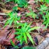 ไผ่รวก เมล็ดไผ่รวก Thyrsostachys siamensis bamboo seed